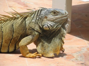 This iguana is a regular at the pool in the morning.