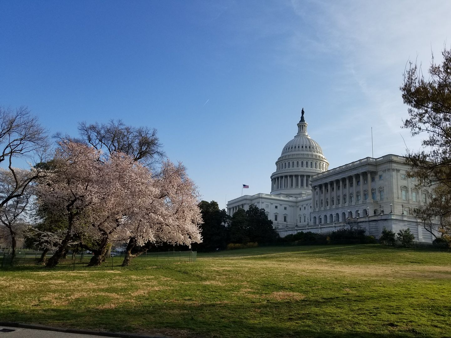 capitol and cherry blossoms